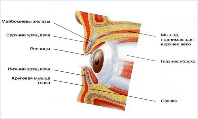 Анатомия глаз (веко)
