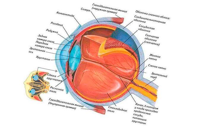Анатомия зрительного механизма